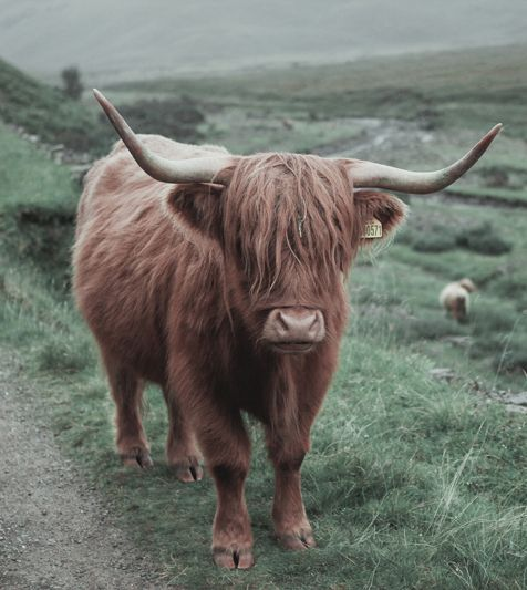Love the Highland cattle of Scotland .. Actually, I love everything about Scotland.