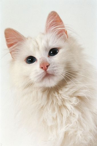 chat de race angora turc