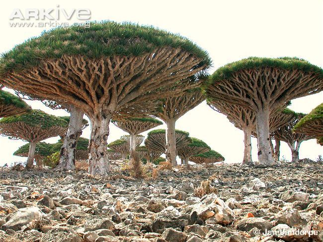 """Dragon's Blood Tree (Dracaena cinnabari) - This evergreen species is named for its dark red resin, known as """"dragon's blood"""", a substance which has been highly prized since ancient times. It is endemic to the island of Socotra, in the Indian Ocean, off the coast of Yemen."""