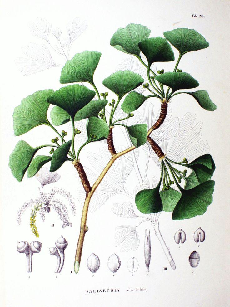 1000 id es sur le th me ginkgo biloba sur pinterest botanique millepertuis et arbuste. Black Bedroom Furniture Sets. Home Design Ideas