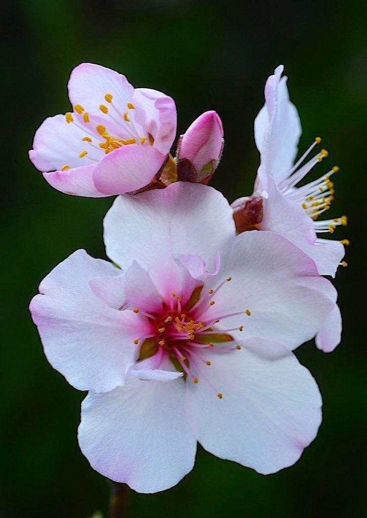 Almond Flowers, Love the White Fresh