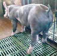 Lechon machol de la raza Pietrain alemán