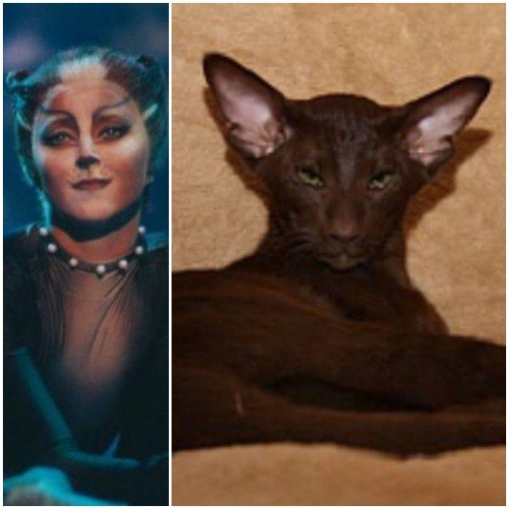 Cassandra Brown Oriental Shorthair Jellicle Cats Cats Musical Oriental Shorthair