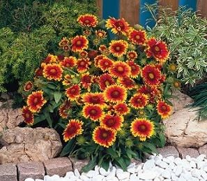 Blanket Flower. This is a perennial, comes back every year. I have transplanted it into all of my front yard beds (all from one plant) then in spring just add a few annuals for accent colors.
