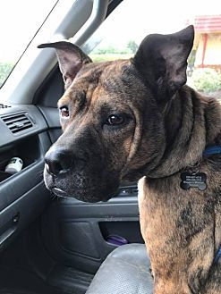 9-12-17: Sharon Center, Ohio -  Eva :Breed: Staffordshire Bull Terrier Mix Color: Brindle Age: Adult Size: Med. 26-60 lbs (12-27 kg) Sex: Female