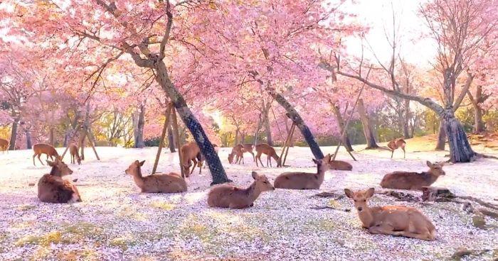Deer Enjoy Cherry Blossoms In An Empty Park In Nara Japan Japanese Park Nara Blossom Trees