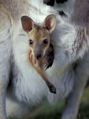 Red-necked Wallaby Joey in Pouch, Bunya  Mountain National  Park, Australia