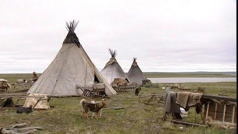 Nénètse, Chien de Traîneau, Tente, Toundra, Sibérie, Animal Domestique, Groupe d'animaux, Marcher, Jour, Stock Footage,