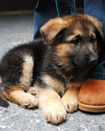 Baby German Shepard, so adorable! The German shepherd is a loyal family