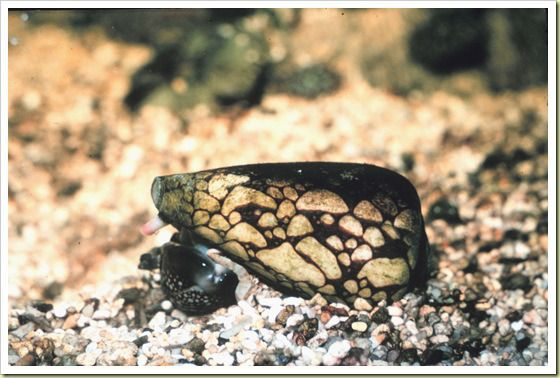 08-marbled-cone-snail