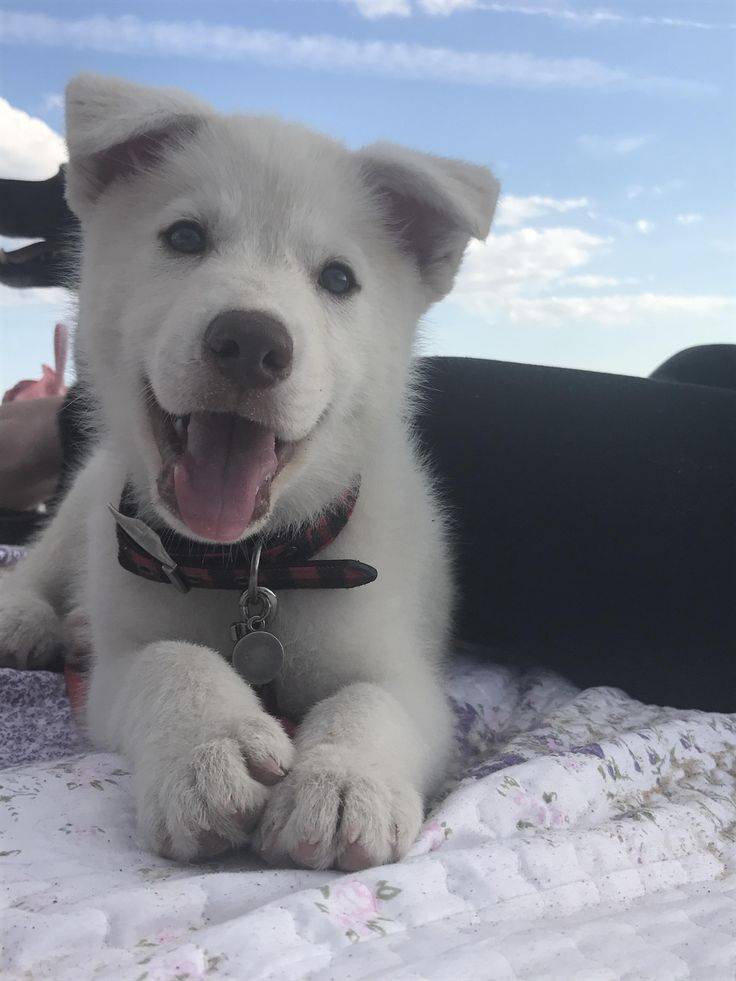 Babies Baby Puppy My 10 Week Old Siberian Husky Lab Mix Http Ift Tt