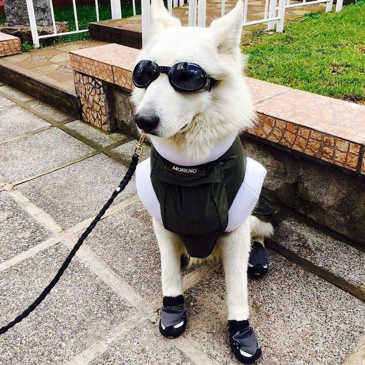 """""""Moreno"""" de la Escuela de Adiestramiento Canino de Carabineros preparado con su equipo para patrullaje en centros invernales. Foto de nuestro @jcpenjean"""