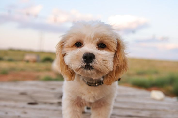 Shih-Poo Facts, Temperament, Training, Diet, Puppies, Pictures