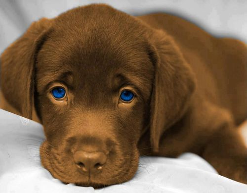 adorable blue eyed chocolate lab
