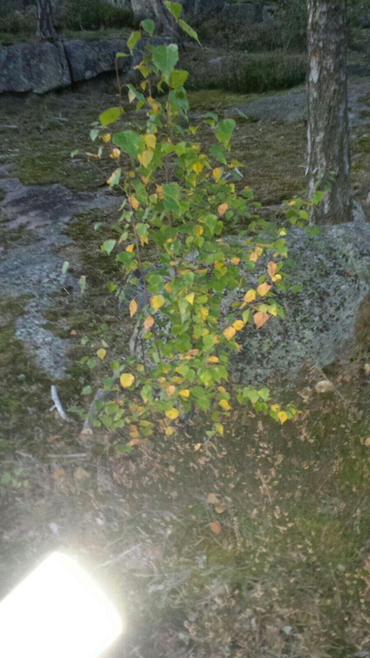 Koivu (Betula)20.9 Sekametsä