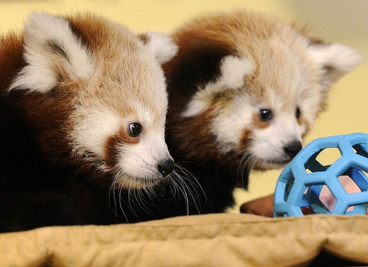 Red panda cubs examine a toy at the Lincoln Children's Zoo, in Lincoln, Neb., Tuesday, Oct. 14, 2014. The zoo has named the cubs Carson and Willa after famous Nebraskans Johnny Carson and Willa Cather. Photo: Eric Gregory, Associated Press