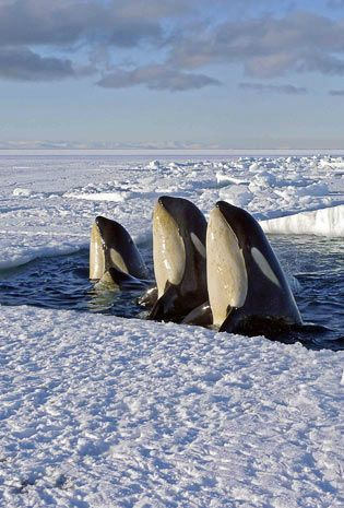 Orca Whales, Photograph by David Attenborough.  Spy hopping - A form of cetacean behavior that consists of rising vertically out of the water, head first, and scanning the entire surrounding area while rotating.   Via SASHA