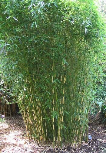 Fargesia Robusta screening.  Clumping bamboo that won't spread out of control. (this variety is too big for your garden, but the photo gives you an idea of what clumping bamboo looks like planted in the ground)