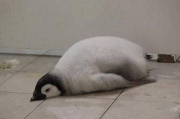 #sleeping #penguin