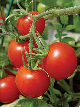Balcony tomatoes are the answer for anyone interested in growing tomatoes in containers. It is just the right size for small pots and produces an insane amount of 2″ – 2-1/2″ fruits burting with flavor.The 10 Best Tomatoes for Containers   Veggie Gardener