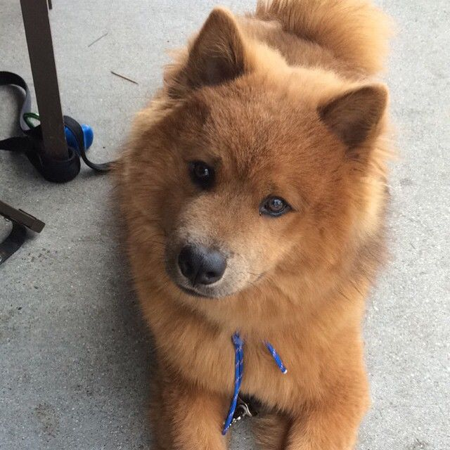 Meet Akira A Korean Jindo Husky Mix Husky Mix Cute Dogs
