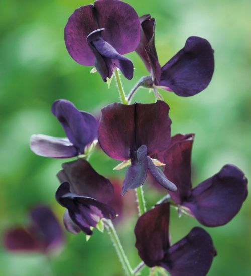 Lathyrus odoratus 'Almost Black' is a very glamorous thing - a sweet pea in an incredibly dark, luscious colour and incredible scent.