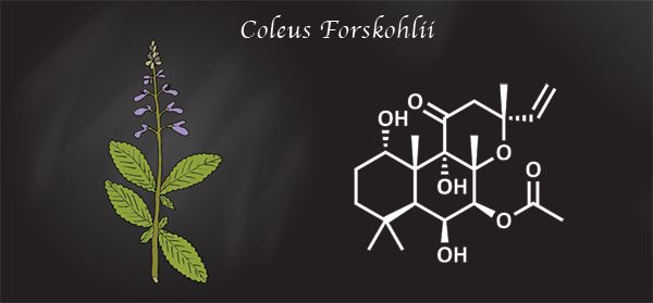 Coleus forskohlii, used in traditional healing for centuries, has historical applications for heart disease, respiratory disorders, abdominal colic, convulsions, and insomnia.