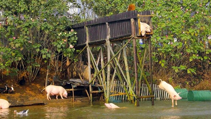 Ningxiang, China: Der Bauer Huang Demin lässt seine Schweine einmal täglich von einer Plattform ins Wasser springen.