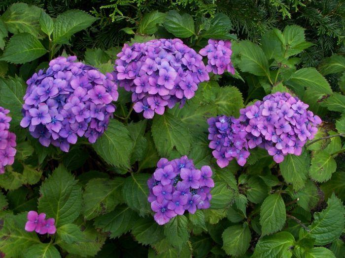 hydrangea macrophylla lila - Google zoeken
