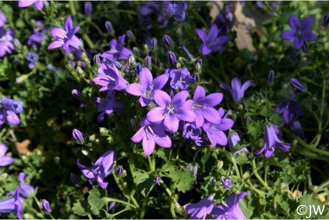 Campanula muralis (C. portenschlagiana) | California Flora Nursery