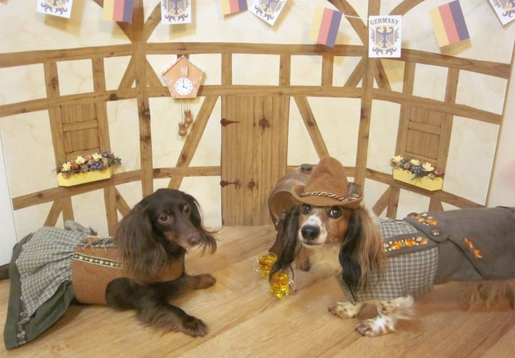 Bavarian garb costume http://www.celebritydachshund.com/2013/10/27/halloweenie-dachshund-costumes-contest/