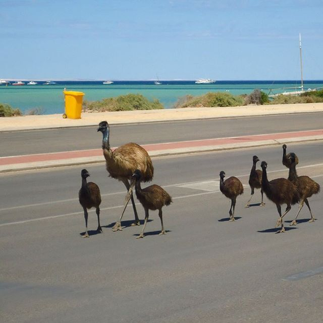 In @australiascoralcoast, you might encounter the occasional traffic jam - of the feathered variety! This family of emus were spotted cruising down the road in the seaside town of Denham, which is the gateway to @westernaustralia's #SharkBay region and the beautiful Francois Peron National Park. On your way into Denham, be sure to stop and check out the Hamelin Pool Stromatolites, which are some of the oldest (and the biggest!) living fossils on earth. Photo: @alamim.justino
