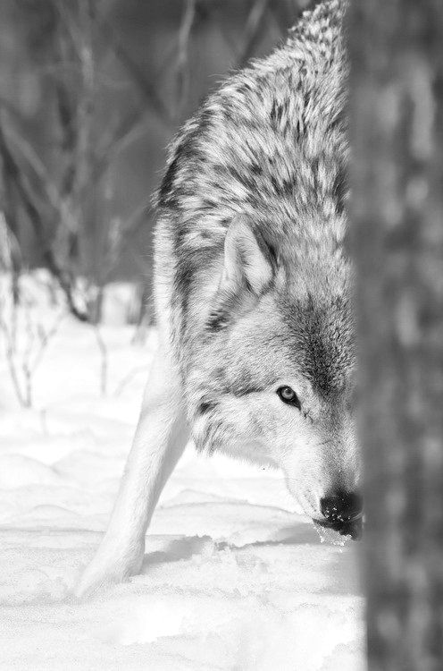 Wolf. desire to connect with new ideas.