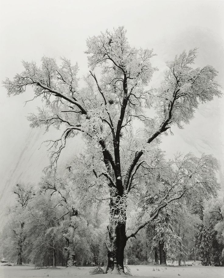 i'm not too sad about leaving winter, but it is surely beautiful: Art, Anseladams, Trees, National Parks, Yosemite National Park, Ansel Adams, Photography, Oak Tree