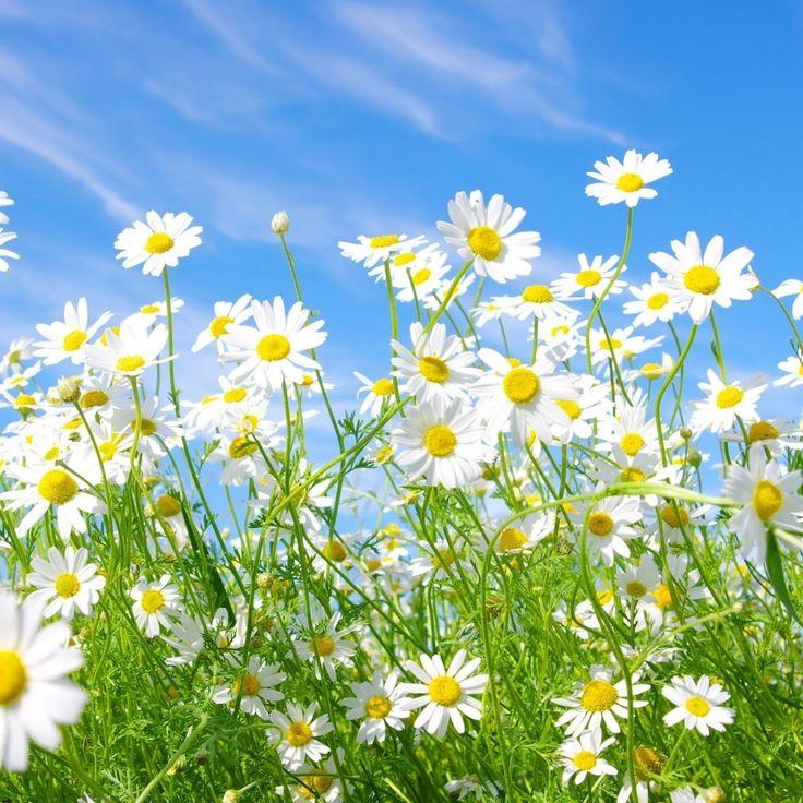 » カモミールの花の草原サニーグリーンスカイ夏   HDの壁紙 ...