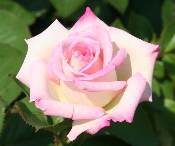 Lynn Anderson - Hybrid Tea Rose More