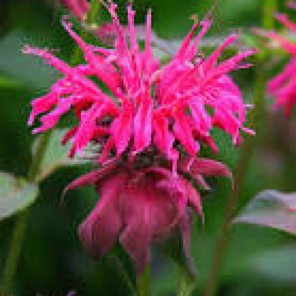 Icymi Bee Balm Flower Monarda In 2020 Bee Balm Flower Bee Balm Flowers