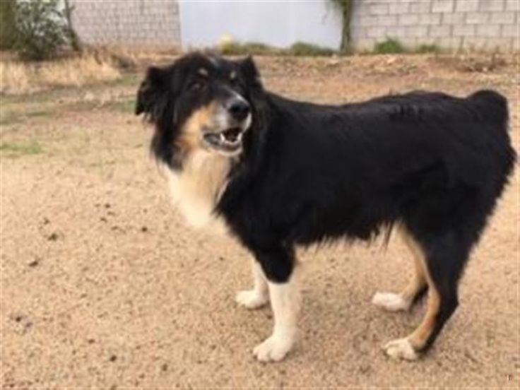 Homeatlast Booger The Handsome Aussie From Maricopa Phoenix Is Back Home Thanks To Good Samaritans Tia On Losing A Dog Humane Society Australian Shepherd