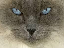 ragdoll-cat,kočka