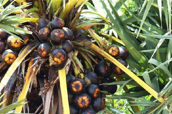 Palmyra Palm/ Toddy Palm/ তাল