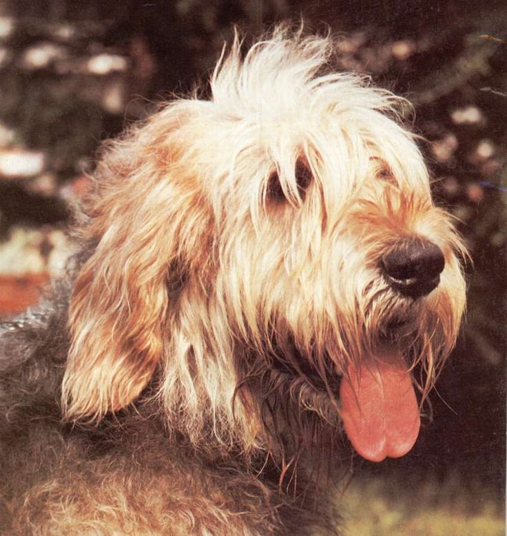 Otterhound » JaneDogs