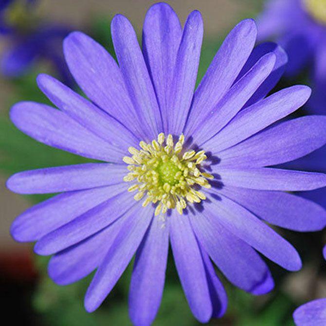 Anemone Blanda Blue Flowered Shade Plants Blue Flowers Anemone