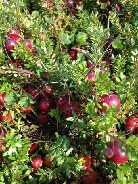 #PEI #cranberries at Mikita Farms, owned by Mike Whitty. http://peiflavours.ca/index.php/whats-in-season/listing/Mikita-Farms