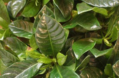 Advice for gardeners who have a gardenia bush whose leaves are turning yellow