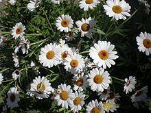 Kopretina, Kopretina bílá je rod přibližně 33-70 druhů rostlin z čeledi hvězdnicovitých (Asteraceae).