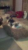 Chuey, BeauBear, Honey Grace on their pillow