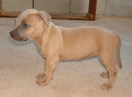 Awww...My Fav...Blue Fawn Pitbull Puppy... So Cute <3