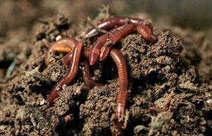 Εν Φύση Βιολογική Φάρμα: Η χρησιμότητα του γαιοσκώληκα στον κήπο,και όχι μό...