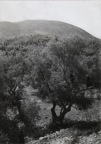 Women climb trees in an olive grove in order to harvest the fruits-Fred Boissonnas