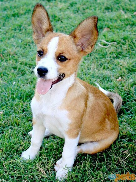 """Corchi""     Corgi and Chihuahua mix!"